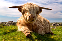 THE HIGHLAND COW  SCOTLAND