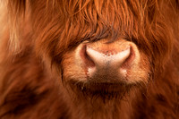 Highland Cow, close-up crop. Isle of Skye. North West Scotland.