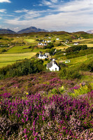 Tarskavaig. Heather in bloom. Isle of Skye. Scotland.