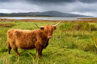 Highland Cow. Towards Ulva from Ballygown.  Isle of Mull. Scotland.