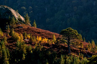 Glen Strathfarrar. Pine, Birch and Heather on the hillside. North West Highlands. Scotland.