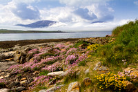 Island of Hoy and Summer Flowers from Ness Point. West Orkney Mainland. Scotland.