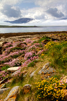 Island of Hoy and Summer Flowers from Ness Point. PF. Mainland Orkney.Scotland.