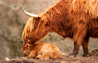 HIGHLAND COW Scotland.