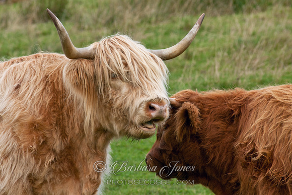 A word in your ear...Highland Cow. Clachtoll. Assynt. North West Scotland.