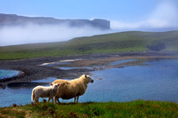 Oronsay Island and Sheep,  Ullinish. Isle of Skye, Scotland.