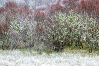 Native Woodland. Frost and Moss. Scottish Highlands.