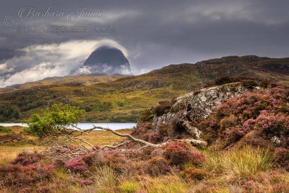 Suilven , fallen Rowan and Heather. Glencanisp. Assynt. North West Highlands. Scotland.