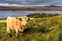 Highland Cow. Kyle of Tongue. Sutherland. Northern Scotland.