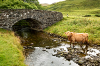 Highland Cow and Bridge at Ballygown. Isle of Mull. Scotland.